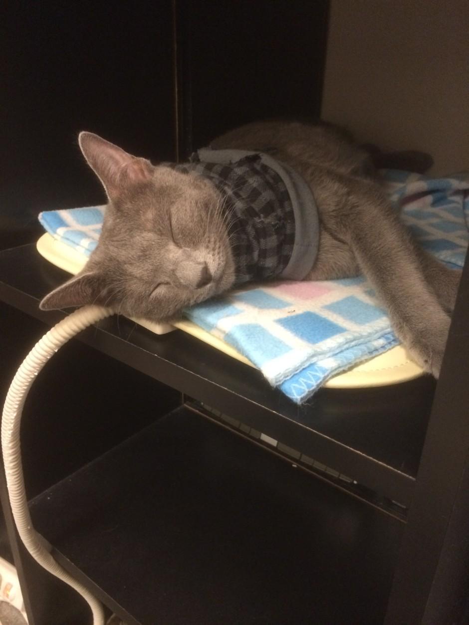 猫スタッフ ロシアンブルー