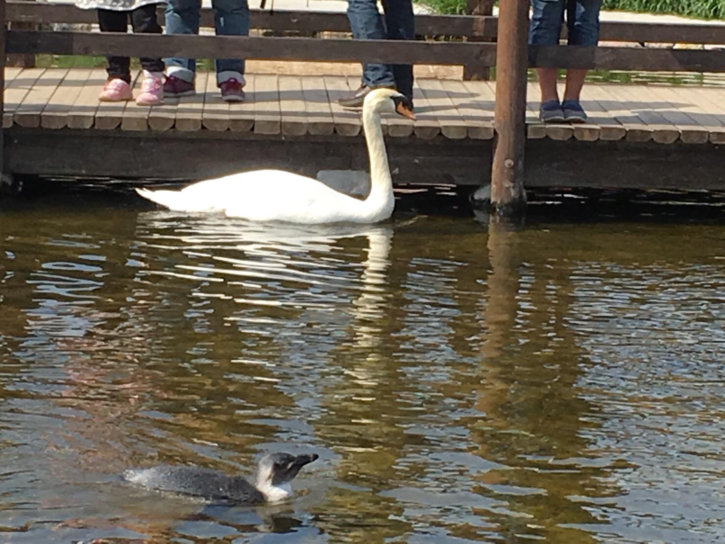 神戸動物王国 白鳥とペンギン